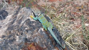 Coloured Lizard