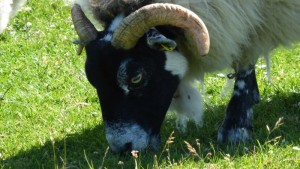 Blackface Sheep