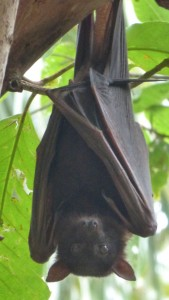 Liitle Red Flying Fox